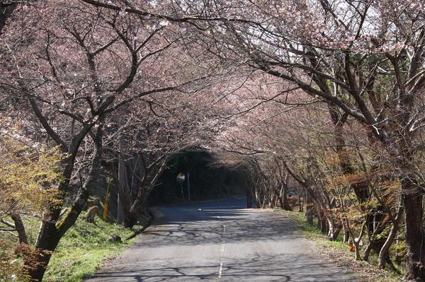 八面山桜のトンネルの画像