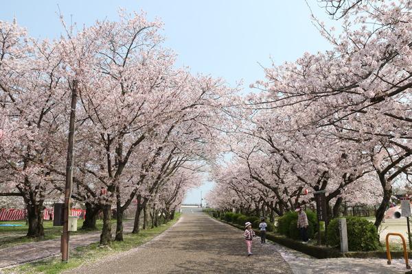 二の丸公園桜の画像