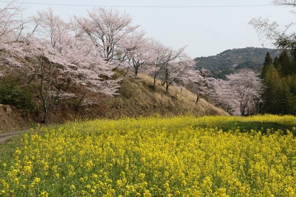 深泉寺桜の画像