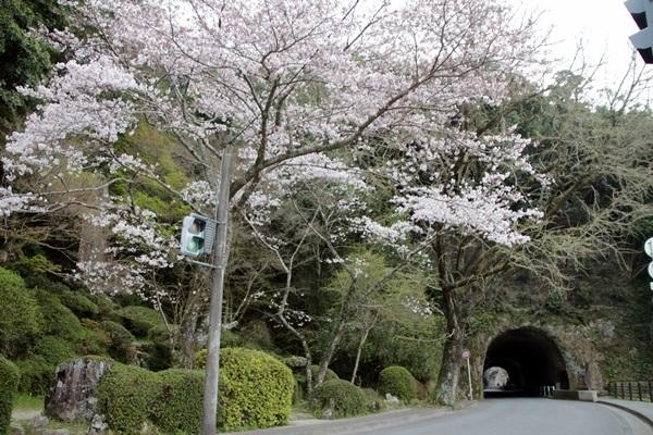 青の洞門桜の画像