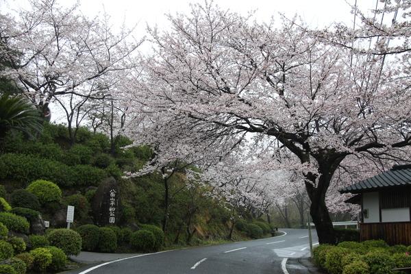 八面山桜の画像