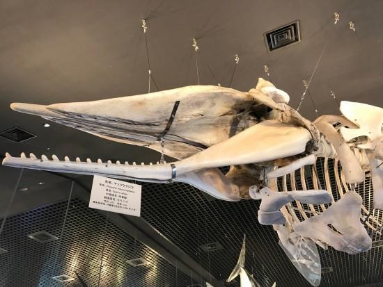 マッコウクジラ模型