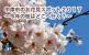 中津市のお花見スポット2017〜今年の桜はどこへ行く?〜